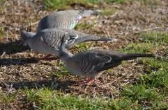 pigeon punk